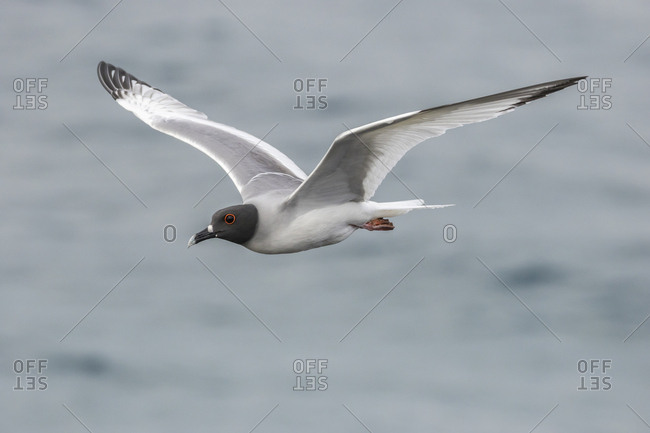 Ecuador, Galapagos National Park, Swallow-tailed gull in flight