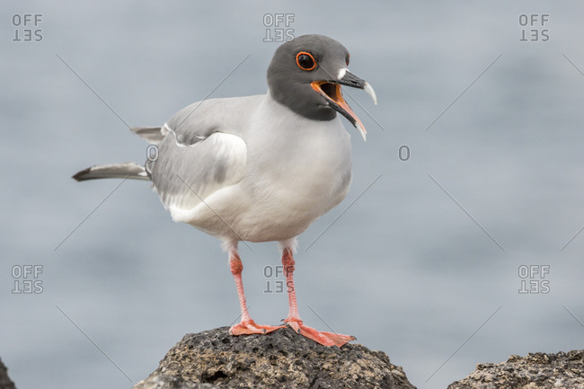 Ecuador, Galapagos National Park, Swallow-tailed gull panting to stay cool