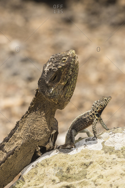 Ecuador, Galapagos National Park, Mummified land iguana and lava lizard