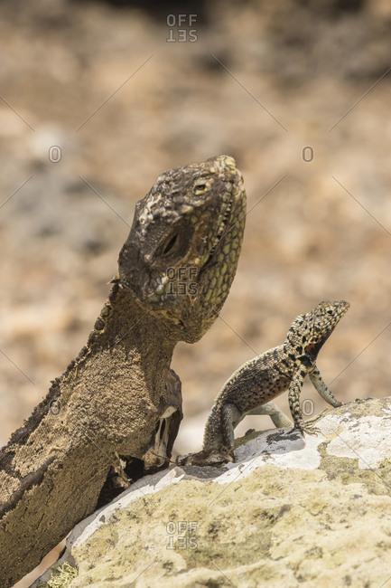 Ecuador, Galapagos National Park, Mummified land iguana and lava lizard
