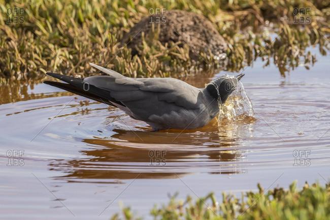Ecuador, Galapagos National Park, Lava gull bathing