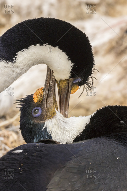 Falkland Islands, Bleaker Island, Imperial shags preening each other