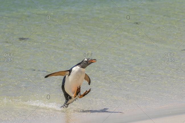 Falkland Islands, Bleaker Island, Gentoo penguin jumping out of water