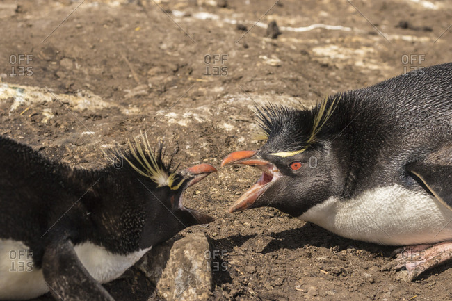 Falkland Islands, Bleaker Island, Rockhopper penguins argument