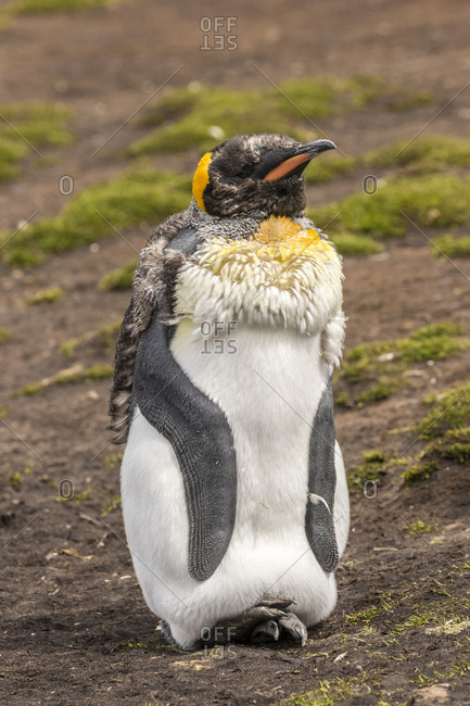 Falkland Islands, East Falkland, King penguin young molting