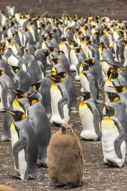 Falkland Islands, East Falkland, King penguin colony with one juvenile