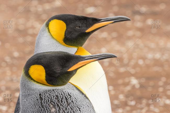 Falkland Islands, East Falkland, King penguins close-up