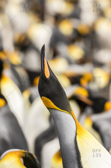 Falkland Islands, East Falkland, King penguin calling
