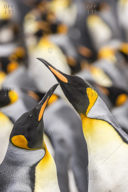 Falkland Islands, East Falkland, King penguins in colony