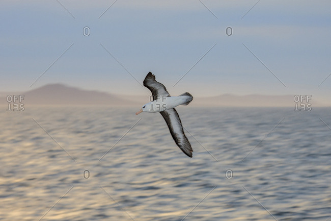 Black-Browed Albatross, West Point Island, Falkland Islands