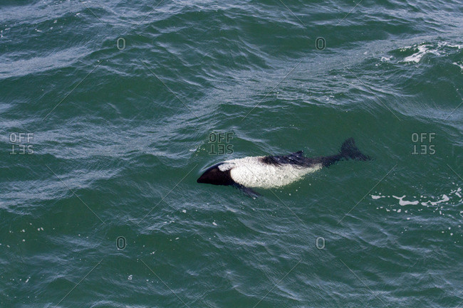 Commerson's dolphin, Falkland Islands