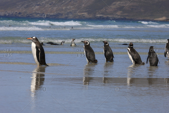 Gentoo Penguin and Magellanic Penguins, West Point Island, Falkland Islands