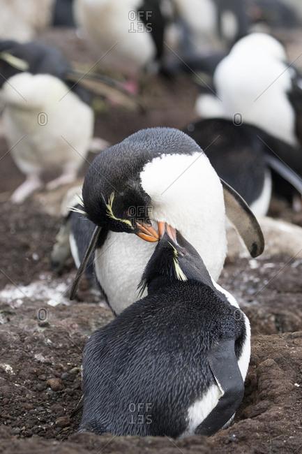 Rockhopper Penguin, Saunders Island, Falkland Islands