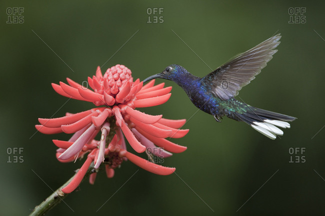 Caribbean, Costa Rica, Violet sabrewing hummingbird feeding