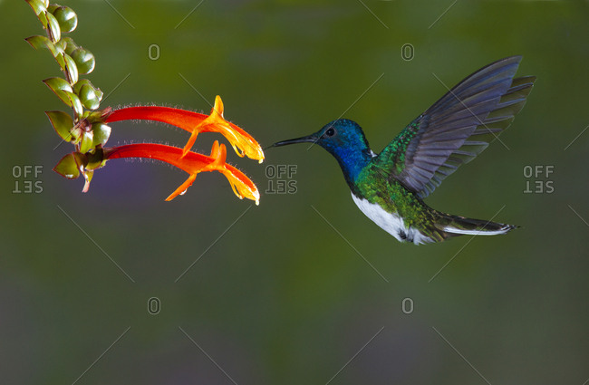 Costa Rica, White-necked Jacobin hummingbird