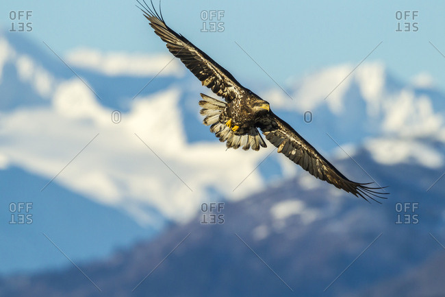 USA, Alaska, Chilkat Bald Eagle Preserve, bald eagle juvenile flying