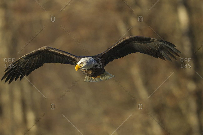 USA, Alaska, Chilkat Bald Eagle Preserve, bald eagle adult flying