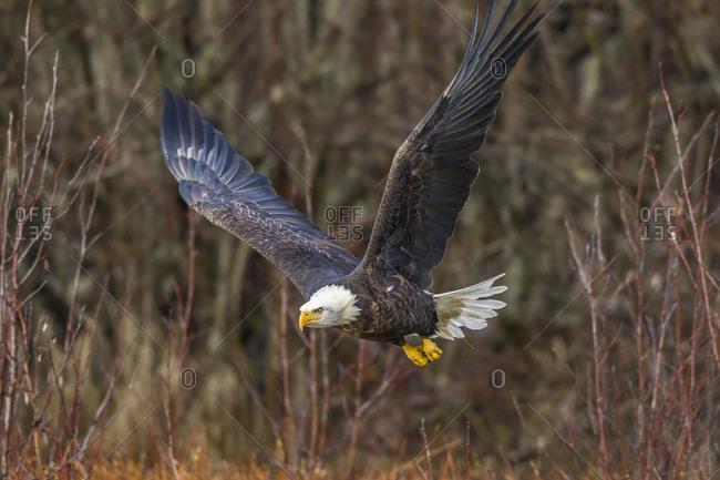 USA, Alaska, Chilkat Bald Eagle Preserve, bald eagle adult flying