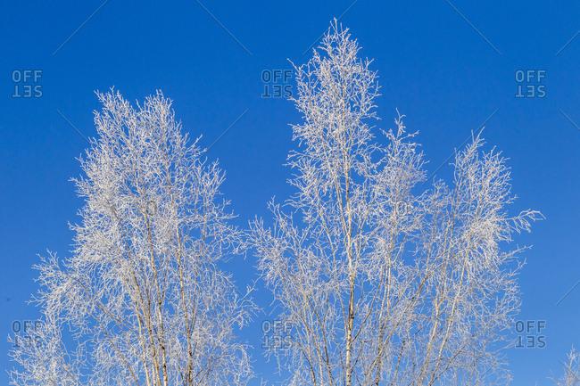 USA, Alaska, Fairbanks, Frosted treetops in winter