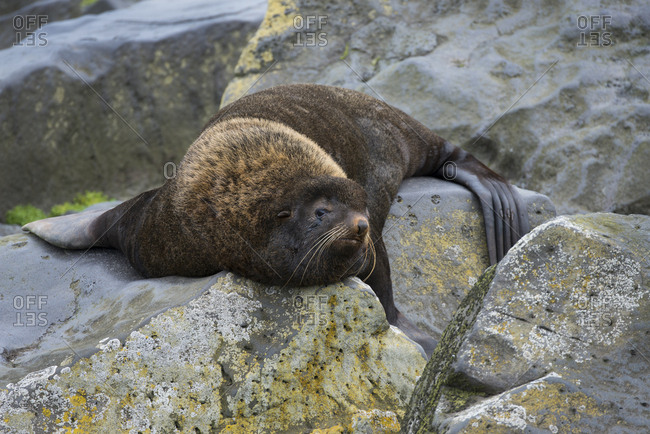 Alaska, Pribilof Islands, Saint Paul, Northern fur seal (Callorhinus ursinus)