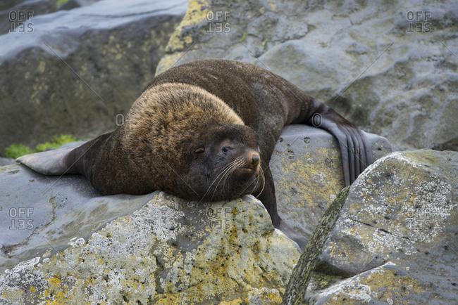 Alaska, Pribilof Islands, Saint Paul, Northern fur seal (Callorhinus ursinus)
