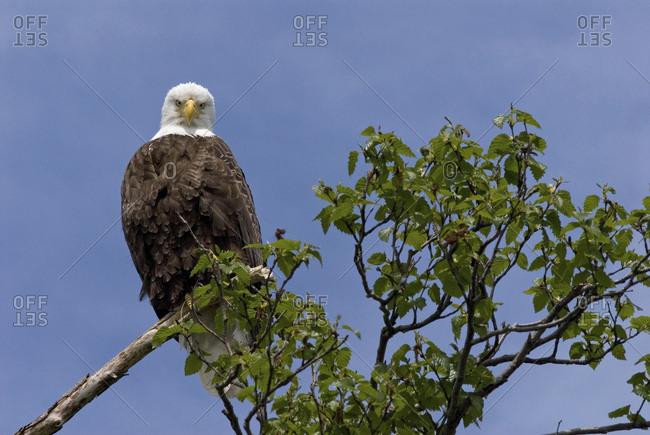 Katmai Peninsula, Alaska, USA, American Bald Eagle