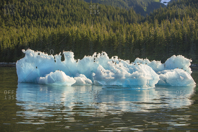Blue Icebergs with herring gulls (Larus argentatus), Tracy Arm, Tongass National ForeSt. Inside Passage, Southeast Alaska, USA