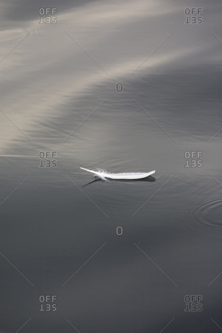 Seagull feather floating on calm water