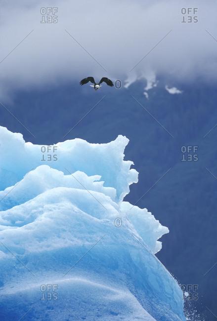 Bald Eagle on Blue Iceberg, Tracy Arm, Southeast Alaska