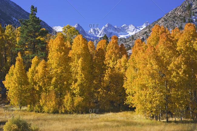 USA, California, Sierra Nevada Mountains, Aspens in autumn