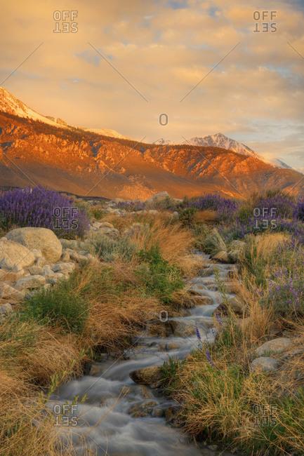 USA, California, Sierra Nevada Mountains, Inyo bush lupine flowers on hillside