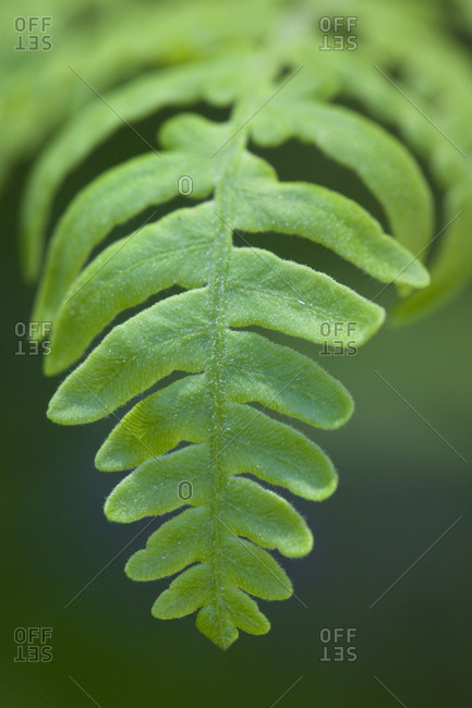 USA, California, Yosemite National Park, Fern leaf detail