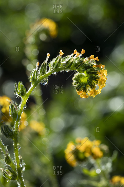 USA, California, Fiddleneck wildflower close-up