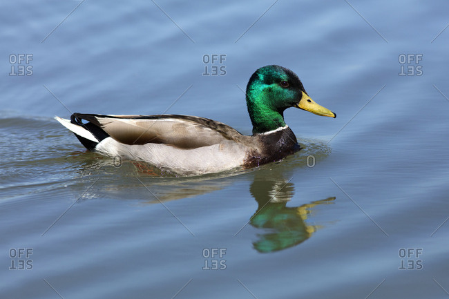 USA, California, Mallard duck swimming