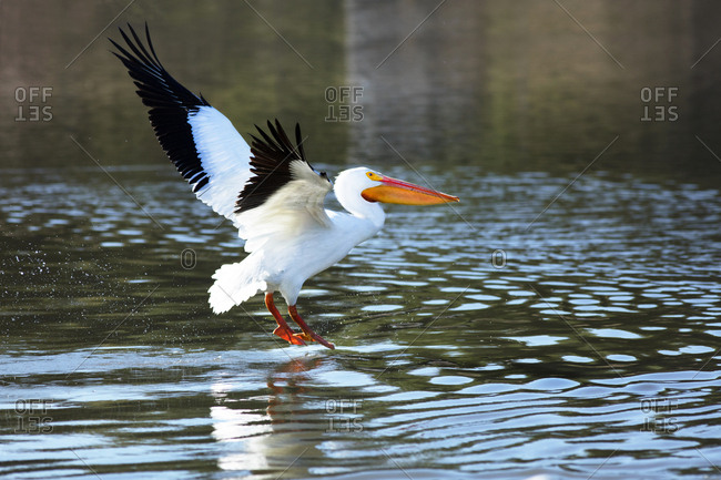 USA, California, American white pelican flying from water
