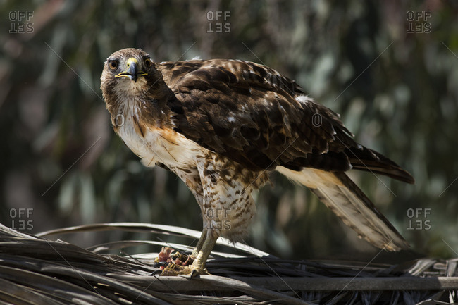 USA, California, Red-tailed hawk with prey