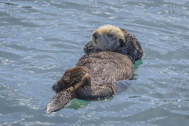 USA, California, Morro Bay State Park, Sea Otter mother resting on water