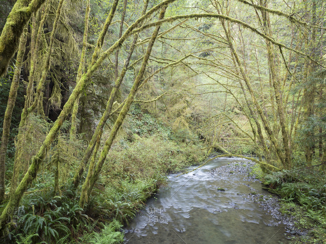USA, California, Redwood National Park, Alder trees and Lost Man Creek