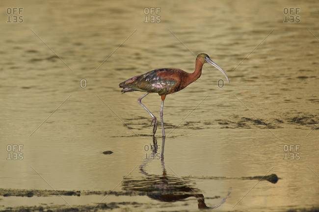USA, California, Los Angeles, Glossy ibis in breeding plumage