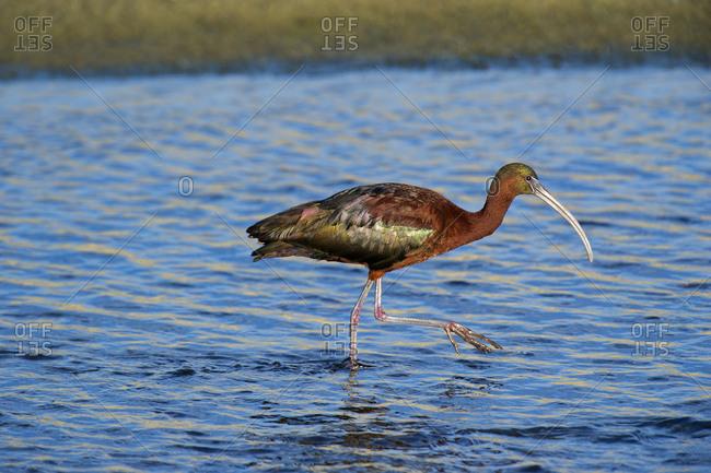 USA, California, Los Angeles, Glossy ibis in breeding plumage