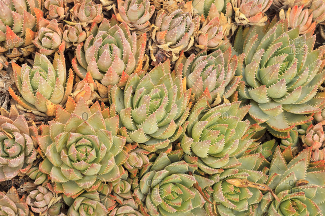 Red Aloe Succulent Plants, Old Town, San Diego, California
