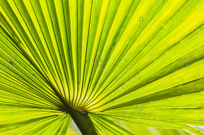 Palm fan, Southern California, USA