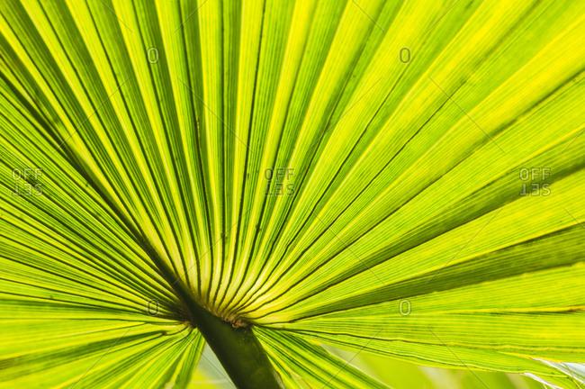 Palm fan, Southern California, USA