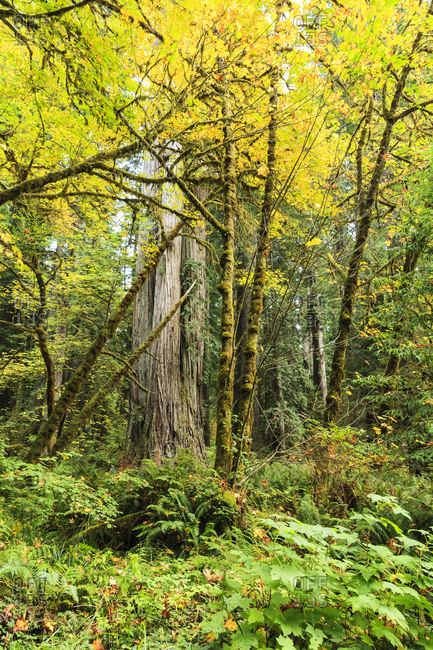 Prairie Creek area, Redwoods State Park, Coastal Redwoods, Northern California coast USA