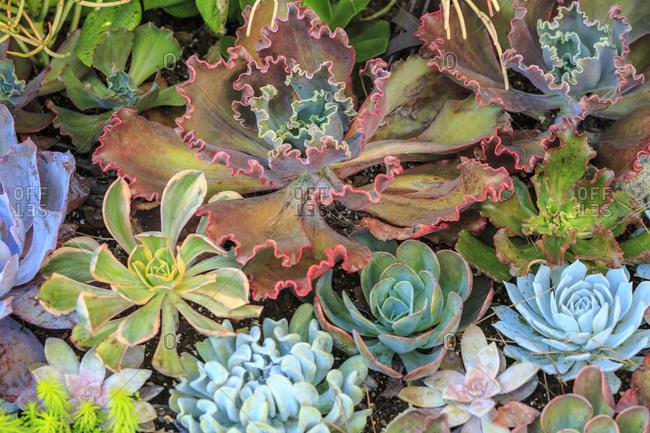Close-up of succulent plants, San Diego, California, USA