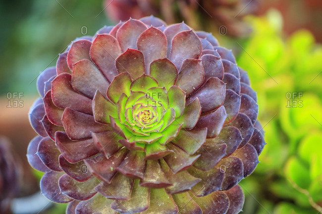Close-up of succulent plants, San Diego, California, USA