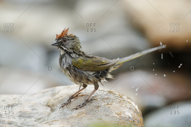 USA, Colorado, Woodland Park, Wet green-tailed towhee after bathing