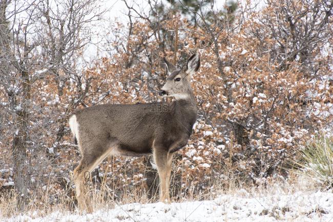USA, Colorado, Mule deer doe pauses in field in light snowfall