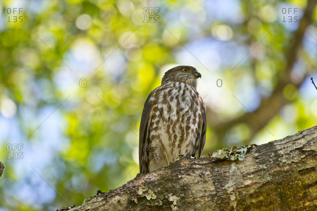 USA, Florida, Immokalee, Sharp-shinned Hawk Perched in Tree