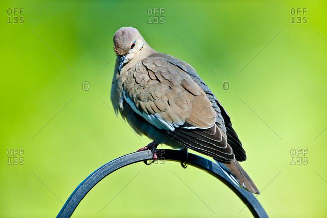 USA, Florida, Immokalee, White-winged Dove